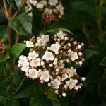 Viburnum tinus © Isabelle van Groeningen