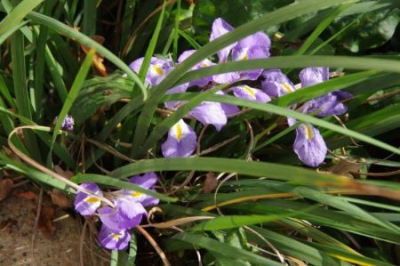 Iris unguicularis - Schwertlilie © Isabelle van Groeningen