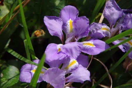 Iris unguicularis Detail © Isabelle van Groeningen