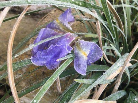 Iris unguicularis Frost - Winterblühende Schwertlilie© Isabelle van Groeningen