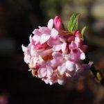 Viburnum x bodantense 'Dawn' © Isabelle van Groeningen