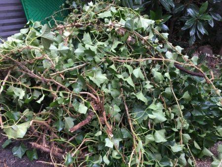 Collapsed Ivy © Isabelle van Groeningen