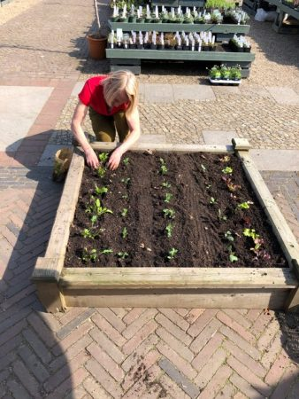 4. Pflücksalat wird gepflanzt © Isabelle van Groeningen