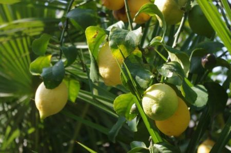 Under the lemon tree - Mediterran © Isabelle van Groeningen