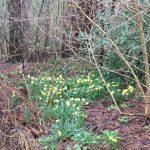 Narcissus pseudonarcissus ssp. Lobularis woods © Isabelle van Groeningen