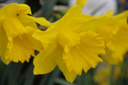 Narcissus 'Dutch Master' © Isabelle van Groeningen