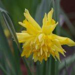 Narcissus 'Rip van Winkel' © Isabelle van Groeningen