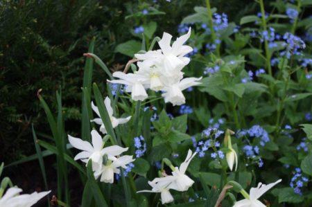 Narcissus 'Thalia' + Brunnera macrophylla 'Jack Frost'© Isabelle van Groeningen