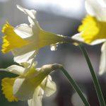 Narcissus lobularis © Isabelle van Groeningen