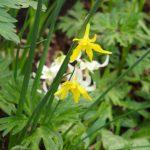 Narcissus x odorus -Single Campernelle © Isabelle van Groeningen