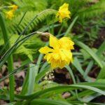 Narcissus x odorus - double Campernelle © Isabelle van Groeningen