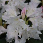 Rhododendron 'Cunningham's white' Nepeta 'Walkers Low' © Isabelle van Groeningen
