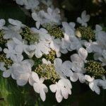 Viburnum plicatum 'Mariesii' © Isabelle van Groeningen
