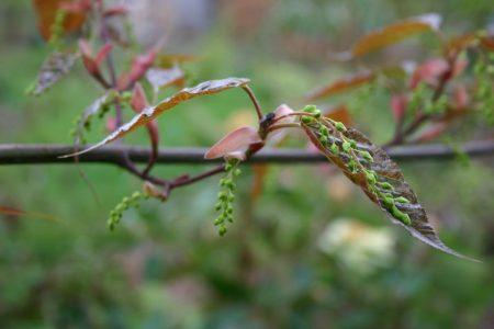 Acer davidii bud - Frühling © Isabelle van Groeningen