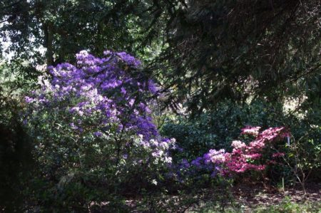 Arboretum Kalmthout Rhododendron © Isabelle van Groeningen