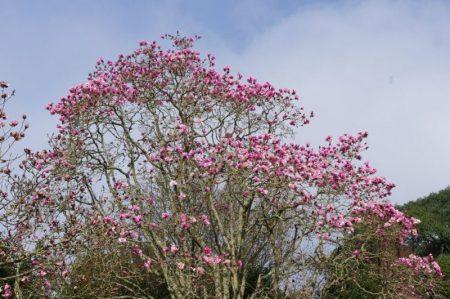 Caerhays Magnolia © Isabelle van Groeningen