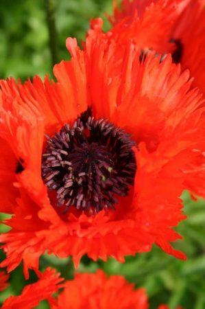 Poppies - Papaver 'Türkenlouis' © Isabelle van Groeningen