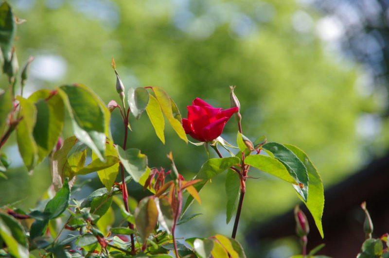 Rosa 'Bengal Crimson' - Rosen © Isabelle Van Groeningen