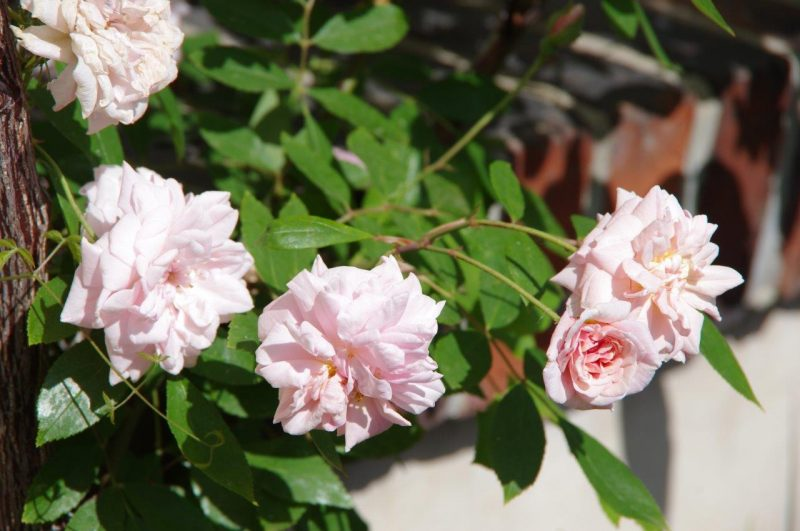 Rosa 'Cécile Brunner' - roses © Isabelle Van Groeningen