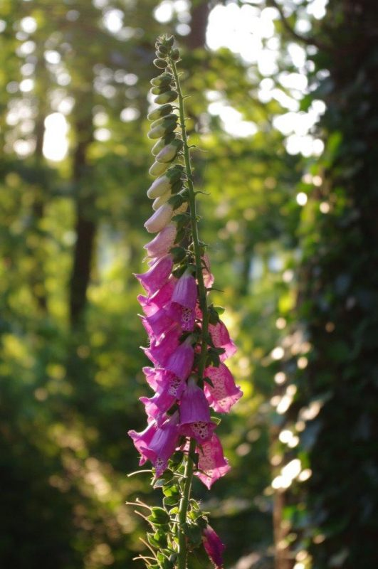 Foxgloves - Digitalis purpurea © Isabelle Van Groeningen