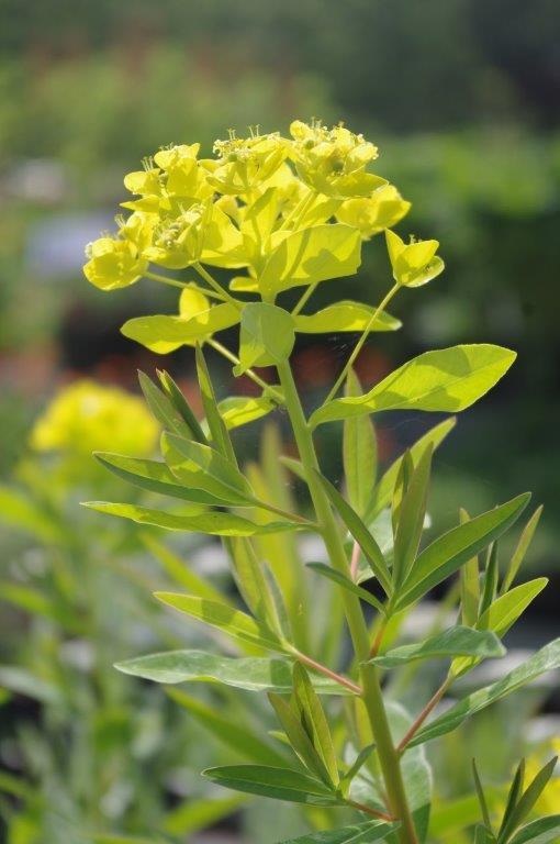 Euphorbia palustris 'Wahlenburgs glorie' © Isabelle Van Groeningen