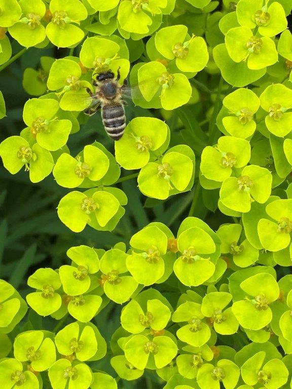 Euphorbia seguieriana ssp niciciana © Isabelle Van Groeningen