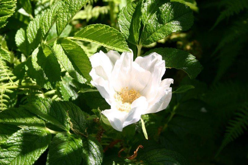 Rosa 'Blanc Double de Coubert' © Isabelle Van Groeningen