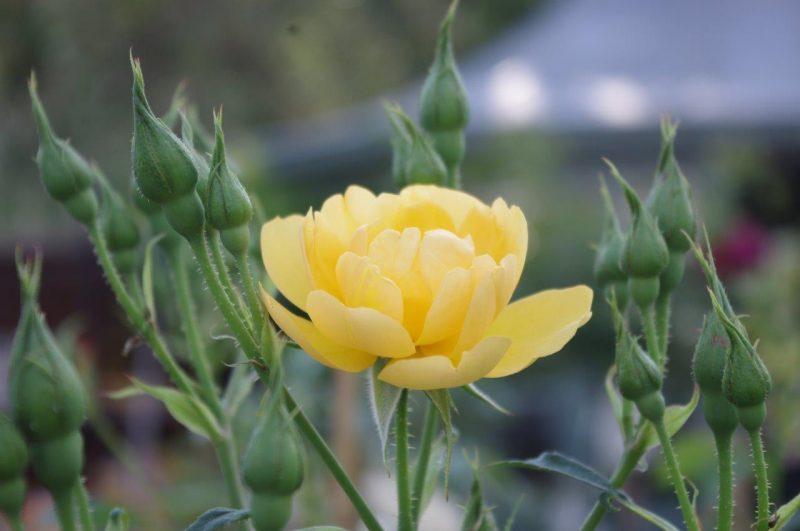 Rosa 'Buttercup'© Isabelle Van Groeningen