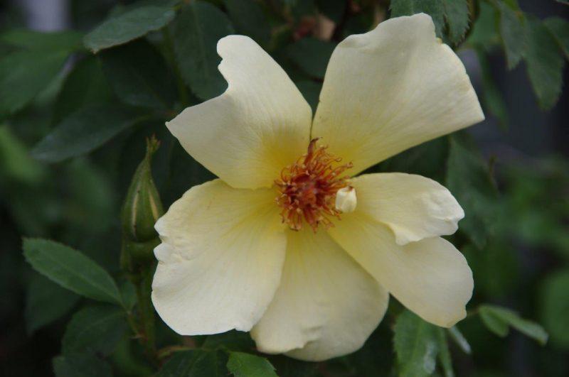 Rosa 'Frühlingsgold' © Isabelle Van Groeningen