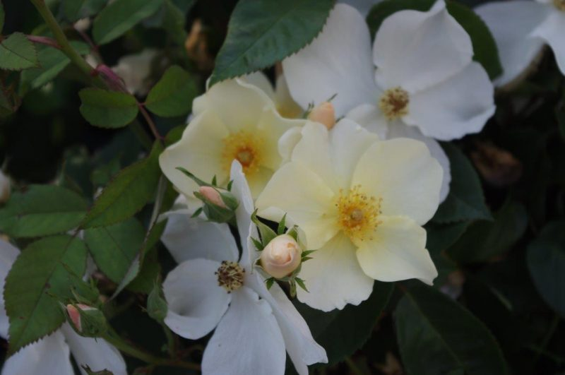 Rosen für Bienen - Rosa 'Kew Gardens' © Isabelle Van Groeningen