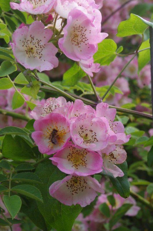 Rosa 'Kew Rambler' © Isabelle Van Groeningen