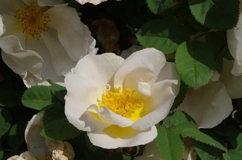 Rosa 'Nevada' © Isabelle Van Groeningen