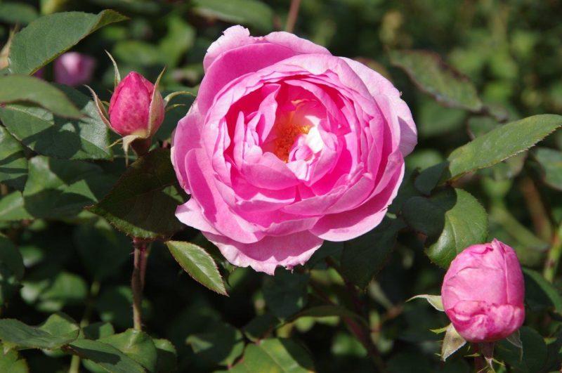 Rosa 'Skylark' © Isabelle Van Groeningen