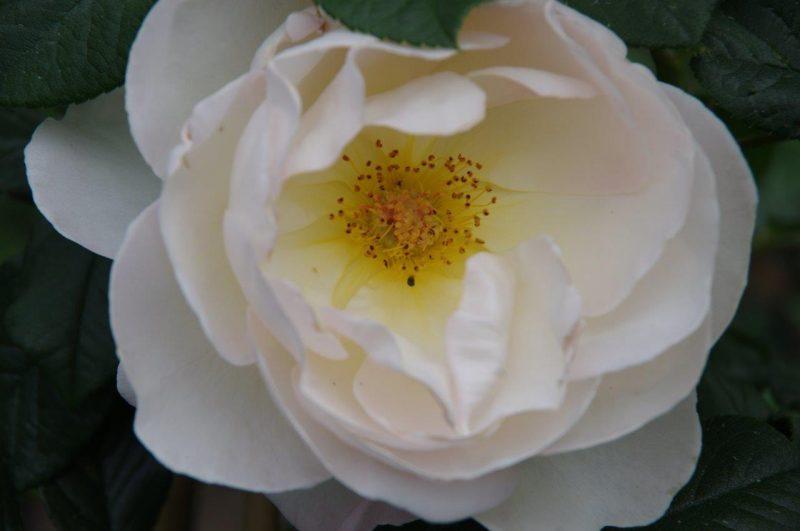 Rosa 'Uetersener Klosterrose' © Isabelle Van Groeningen