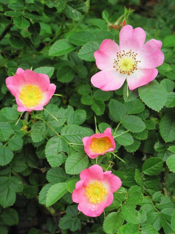 Roses attractice for bees  - Rosa canina - Hunds-Rose © Isabelle Van Groeningen