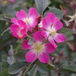 Rosa glauca © Isabelle Van Groeningen