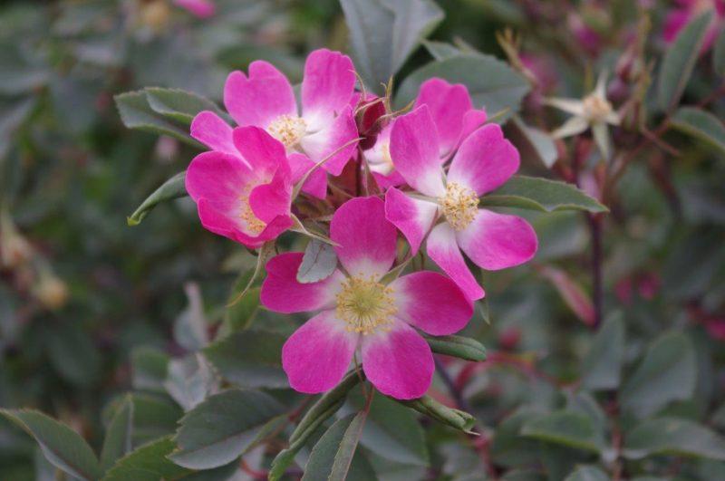 Roses attractice for bees - Rosa glauca © Isabelle Van Groeningen