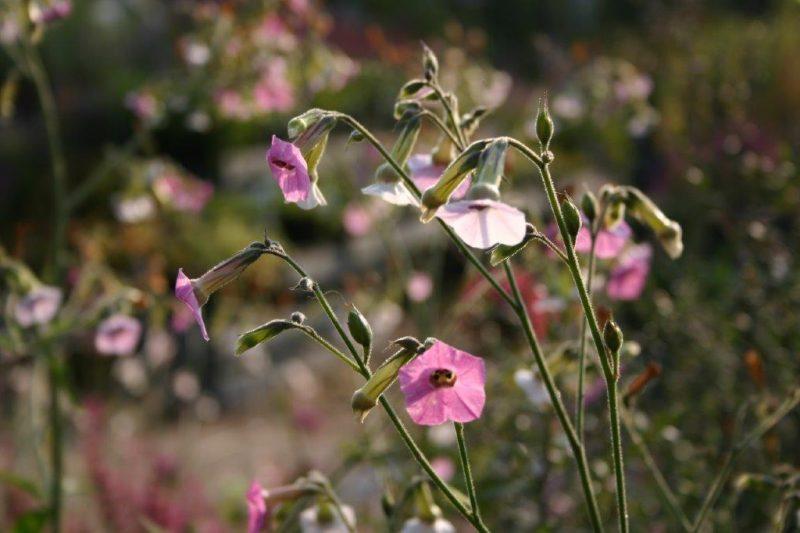 Nicotiana mutabilis detail © Isabelle Van Groeningen - Garten im Sommer