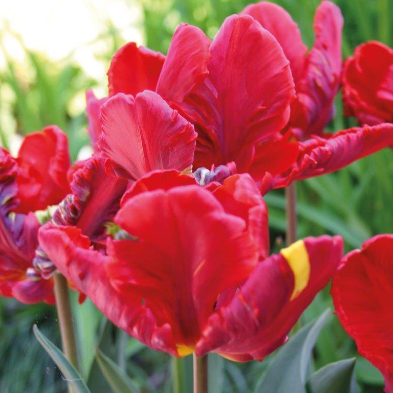 Tulipa 'Rococco' Zwiebeln © Isabelle Van Groeningen