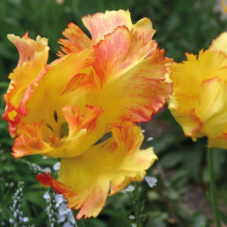 Zwieblen - Tulipa Texas Gold fast verblüht © Isabelle Van Groeningen