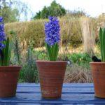 Hyacinth 'Delft Blue' trio © Isabelle Van Groeningen