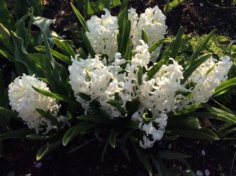 Hyazinthen - Hyacinthus ''Carnegie' & 'White Festival' © Isabelle Van Groeningen