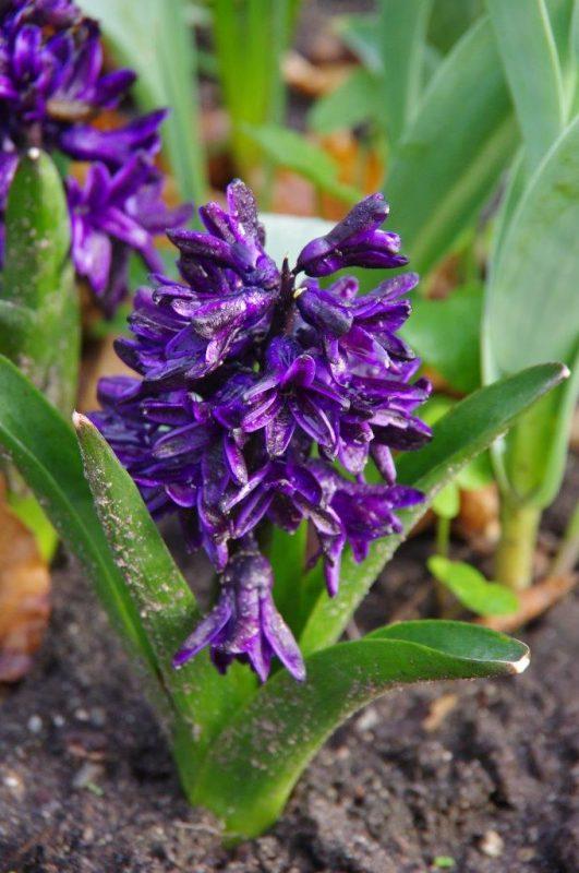 Hyacinthus 'Dark Dimensions' © Isabelle Van Groeningen