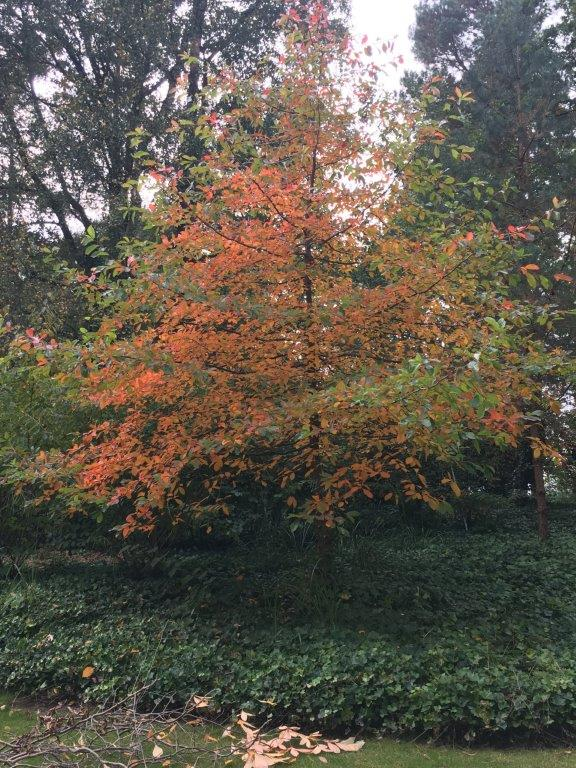 Pflanzzeit Herbstzeit Bäume - Nyssa sylvatica © Isabelle Van Groeningen