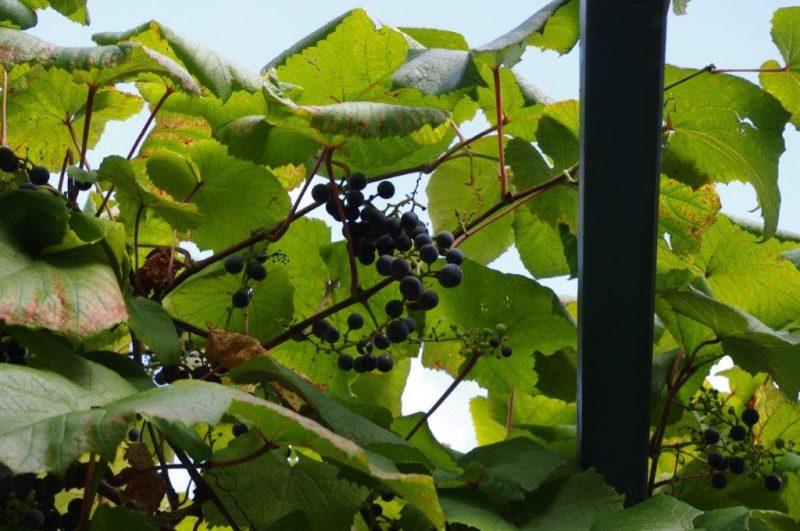 Vitis coignetii frucht © Isabelle Van Groeningen