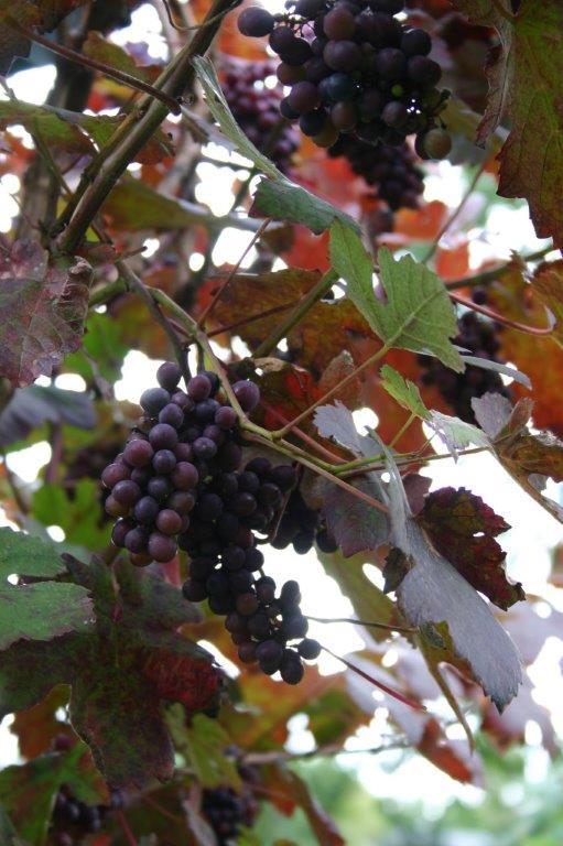 Vitis vinifera 'Atropurpurea' © Isabelle Van Groeningen