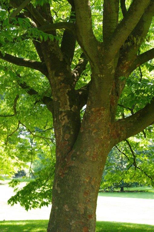 Pflanzzeit Herbstzeit Bäume - Zelkova serrata © Isabelle Van Groeningen