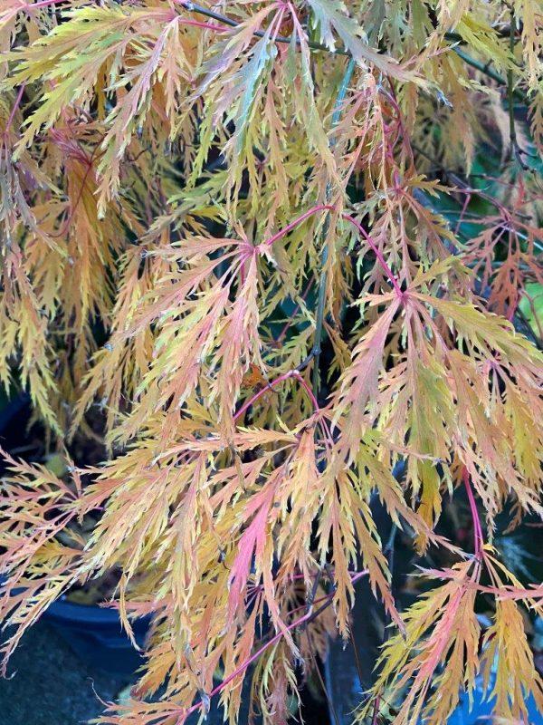 Acer palmatum 'Dissectum' © Isabelle Van Groeningen