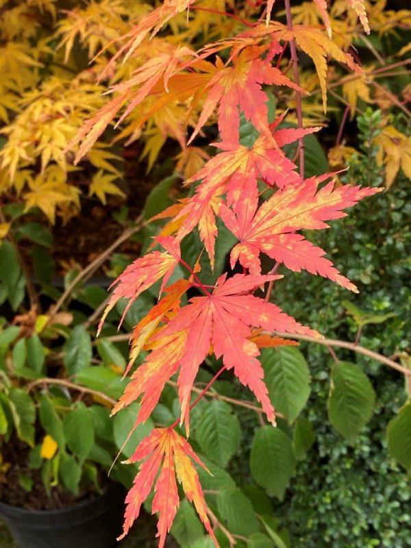 Acer palmatum 'Sangokaku' © Isabelle Van Groeningen