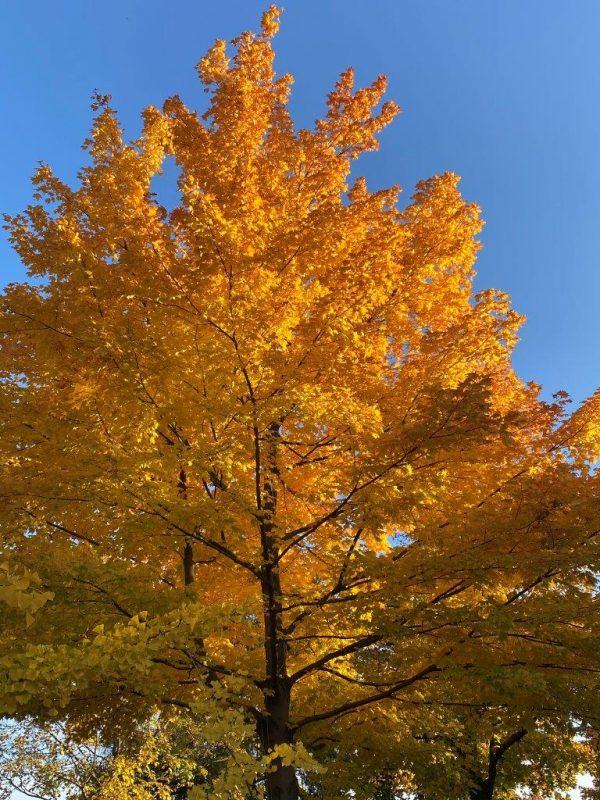 Acer platanoides © Isabelle Van Groeningen